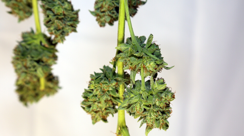 Guide to Drying and Curing Marijuana Buds