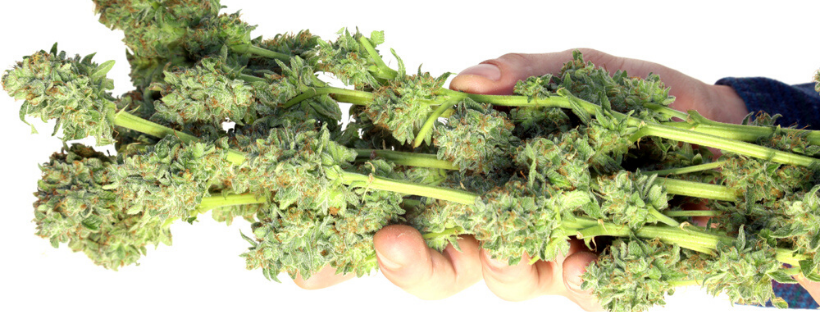 How To Dry Marijuana Buds