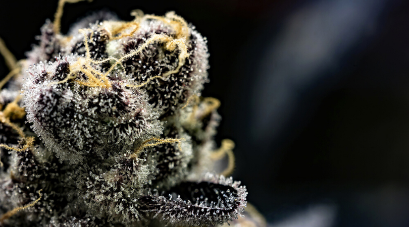 Trichomes Complete Guide